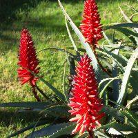 Красные кисти диких цветов