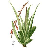 Подробный рисунок растения