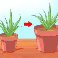 Цветок следует пересаживать из маленького горшка в больший