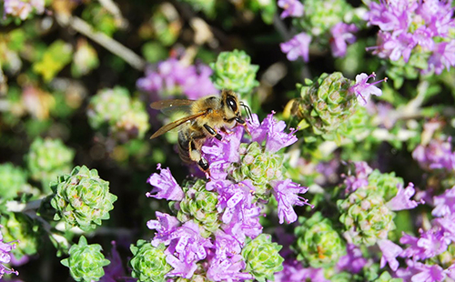 Пчёлка присела на лиловый цветок