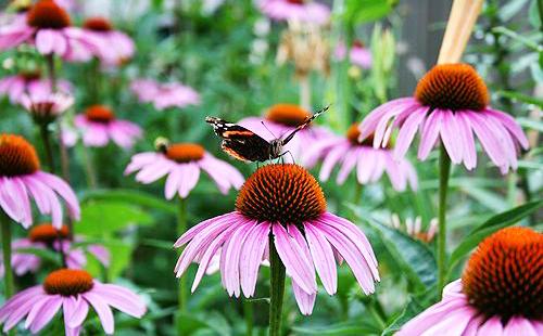 Бабочка присела на цветок прерий