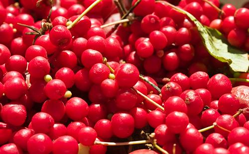 Россыпь красных ягод