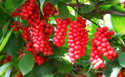 Дальневосточная лиана щедро развесила кисти плодов