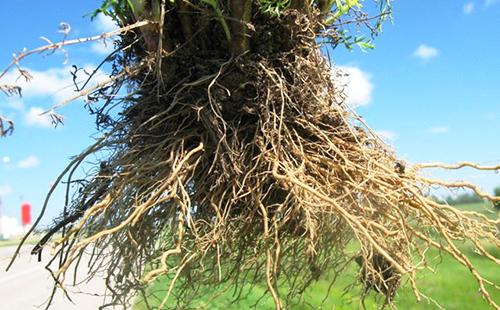 Корни культирвированной ромашки с манитобской плантации