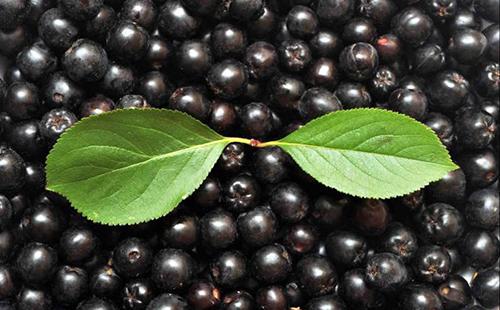 Два зелёных листочка на разложенных россыпью чёрных ягодах