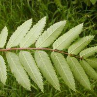 Зубчатые листья скорушины