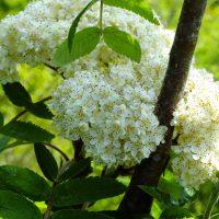 Цветы рябинки помогут женскому здоровью