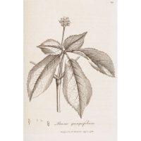 Корень жизни в английском справочнике Медицинская ботаника