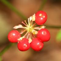 Несколько спелых алых ягод