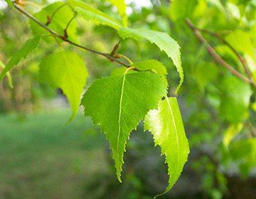 листья береза фото