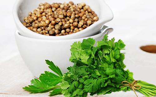 Плоды кориандра и пучок зелени