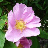 Одиночные цветы даурской розы