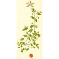 Рисунок канареечной травы