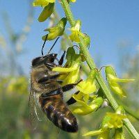 Пчёлка собирает нектар жёлтого донника