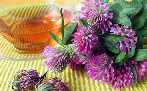 Чай из крупных цветов красноголовника