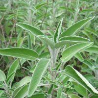 Серовато-зелёные листья шальвии