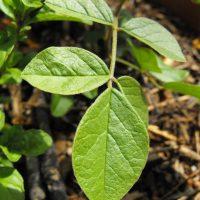 Листья уральской разновидности