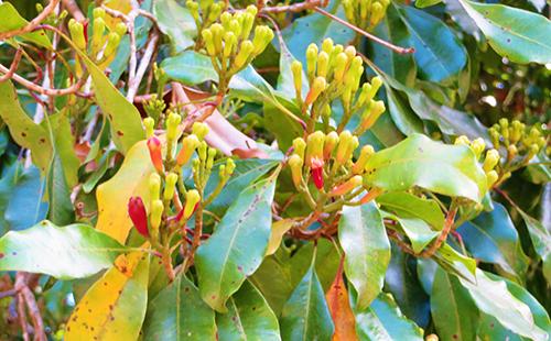 Растение с острова Пембе