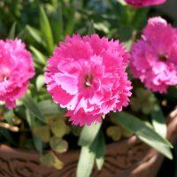 Розовый цветок из Азии
