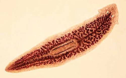 гвоздика лечении от паразитов