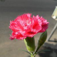 Популярный цветок можно встретить на многих клумбах