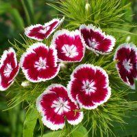 Весёлый цветок украсит любой сад
