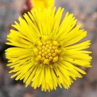 Медовый песчаный цветок