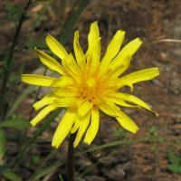 Этот жёлтый цветок можно заваривать
