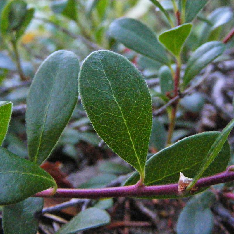 толокнянка растение