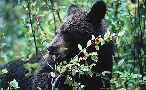 Медведь в зарослях своей любимой ягодки