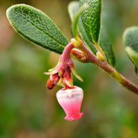 Миловидный розовый цветок бесплодницы
