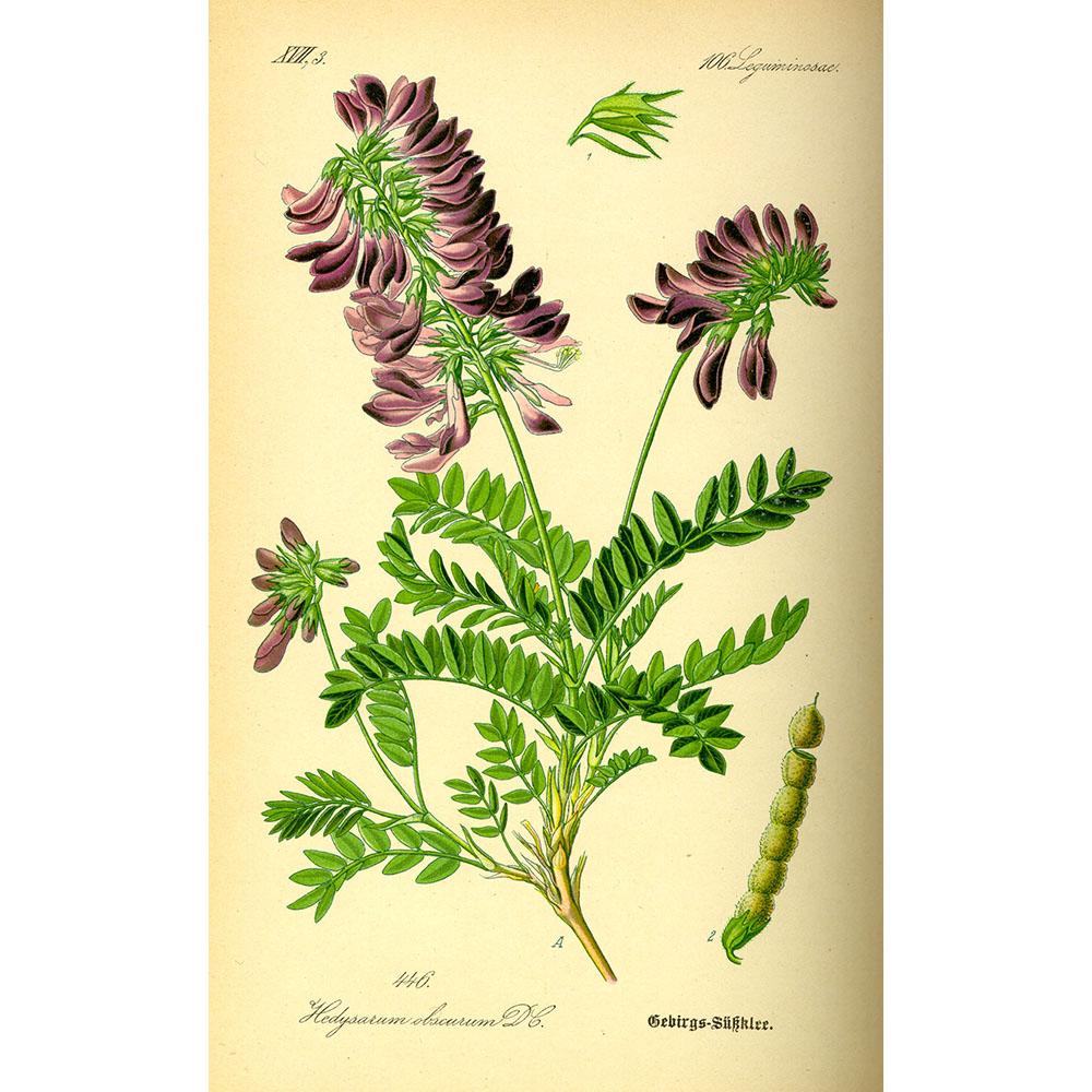 красный корень фото растения