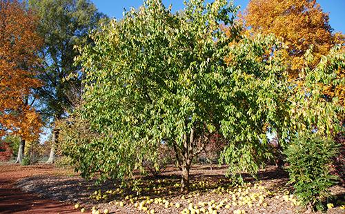 Адамовы яблоки осыпались с дерева