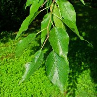 Листья красильной шелковицы