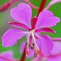 Цветок скрыпника крупным планом