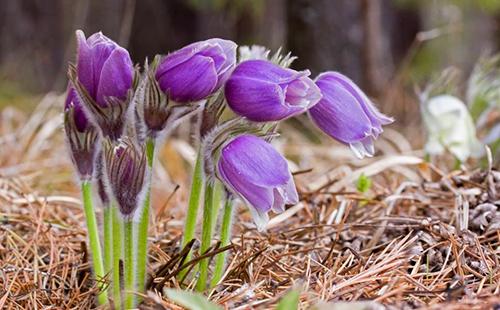 Нежные цветы сон-травы