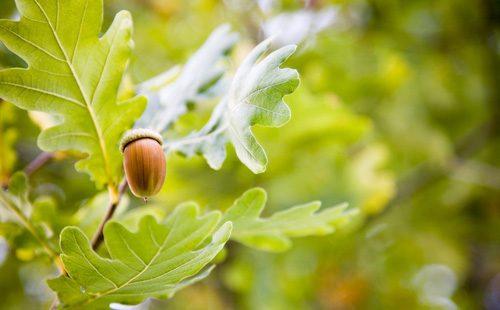 Зеленые листья дуба