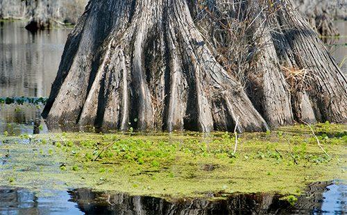 Большое дерево в болоте