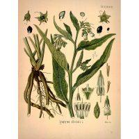 Огуречная трава на рисунке