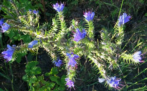 Цветы громовика крупным планом
