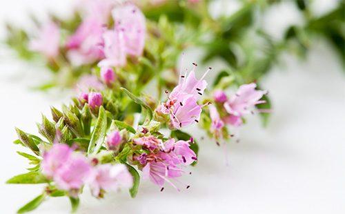 Розовые листья иссопа