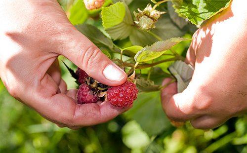 Срывает ягоды малины