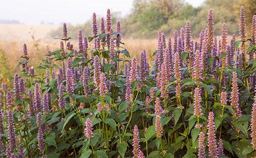 Фиолетовые цветы лофанта