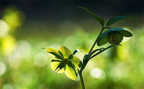 Цветок морозника