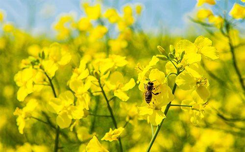 Пчела на рапсовых цветах