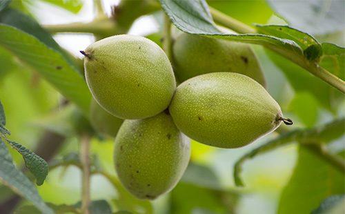 Зеленая кожура орехов